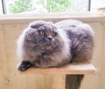 Oskar dell'allevamento british byron:scottish fold a pelo lungo colore blue