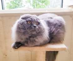 Oskar dell'allevamento british byron:scottish fold a pelo lungo colore blue