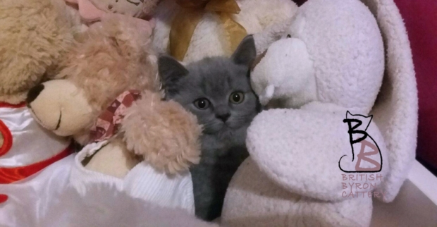 cucciolo-british-shorthair-allevamento-british-byron-scoperto