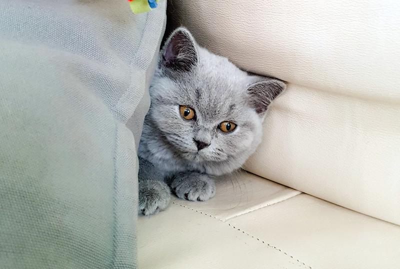 un cucciolo di british shorthair dell'allevamento british byron si nasconde dietro ai cuscini
