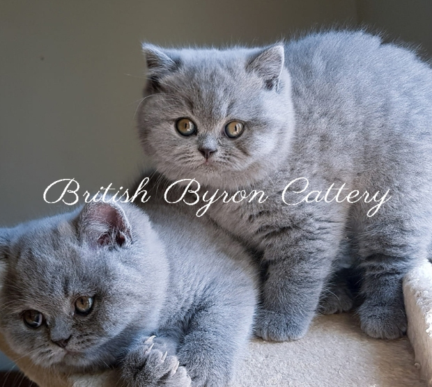 british shorthair 9