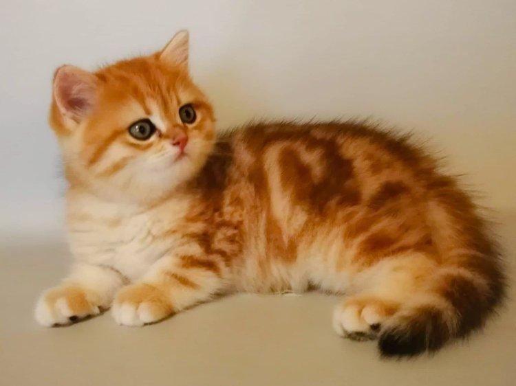 Cucciolo British Shorthair colore oro