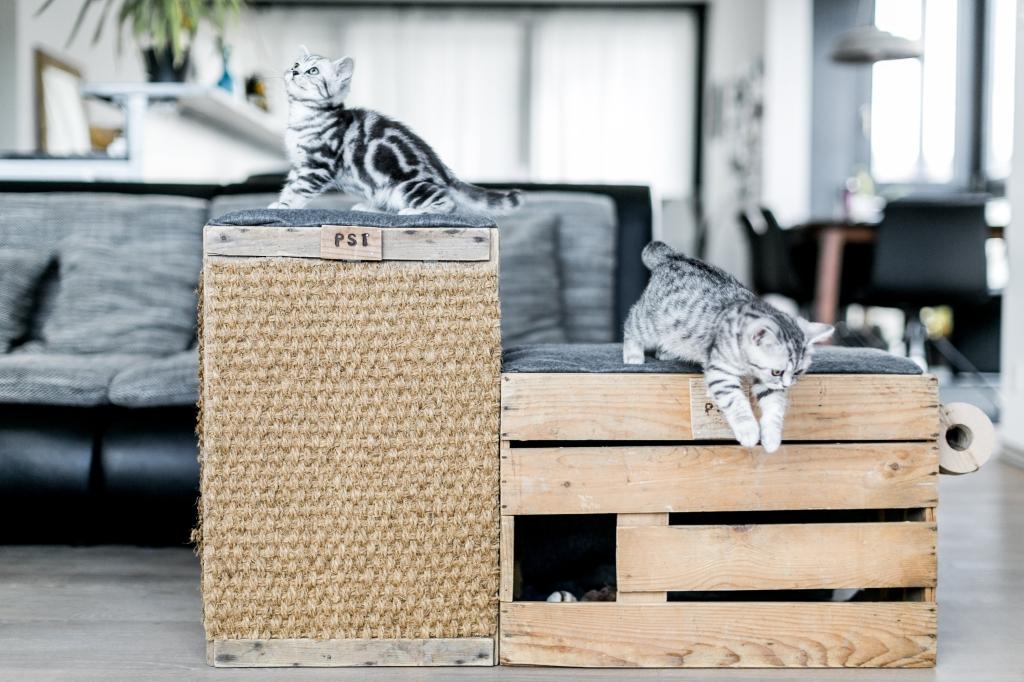 cuccioli di gatto british giocano