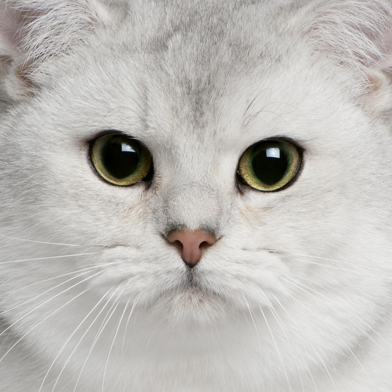 gatto british argento fotografato in primo piano
